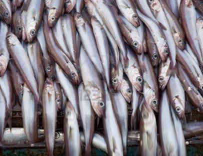 2661788-witing-pescado-azul-en-la-cubierta-del-buque-factoria
