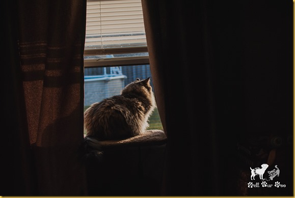 Matilda looking out window WW November 28th - 2 (©Bell Fur Zoo)