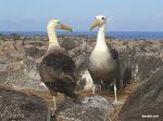 Waved Albatross, Galápagos Islands  [2005]