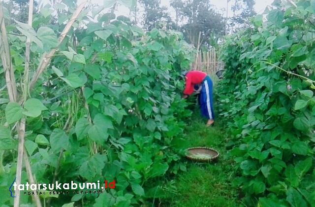 Harga Sayuran Merangkak Naik, Petani Pilih Jual Sayur Keluar Sukabumi