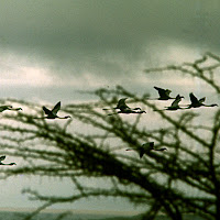 69 birds flying Nakuru.jpg