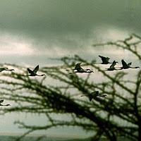 69 birds flying Nakuru.jpg