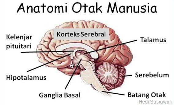 10 Bagian  Bagian Otak Manusia  Beserta Fungsinya Hedi