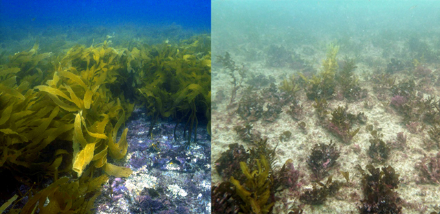 The kelp forest in the Indian Ocean off Western Australia, in 2005 (left). The same area after the 2011-2013 heat wave (right). The extinction of the kelp forest ecosystem along 100 kilometres of Western Australia's coastline, followed record summer temperatures in 2011-2013. By the end of the heatwave, declines in kelp cover were observed along more than 500 kilometres of the south coast, with complete extinction in the northernmost 100 kilometres. Photo: Wernberg, et al., 2016 / Science