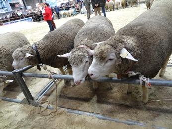 2018.02.25-002 moutons de concours