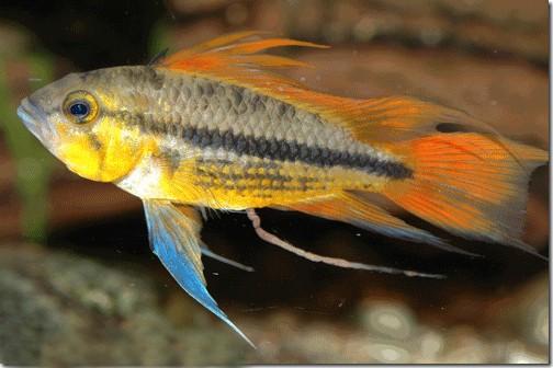 Cá Phượng Hoàng Vẹt