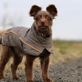 Schokolina in winter by Carola Mellentin - Animals - Dogs Portraits
