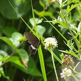 Papilio polytes LINNAEUS, 1758, mâle (2500 m). Baisha (Nord de Lijiang, Yunnan), 19 août 2010. Photo : J.-M. Gayman