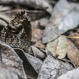 Panyapedaliodes drymaea drymaea (Hewitson, 1858). La Trinidad, 2980 m (Guasca, Cundinamarca, Colombie), 12 novembre 2015. Photo : B. Lalanne-Cassou