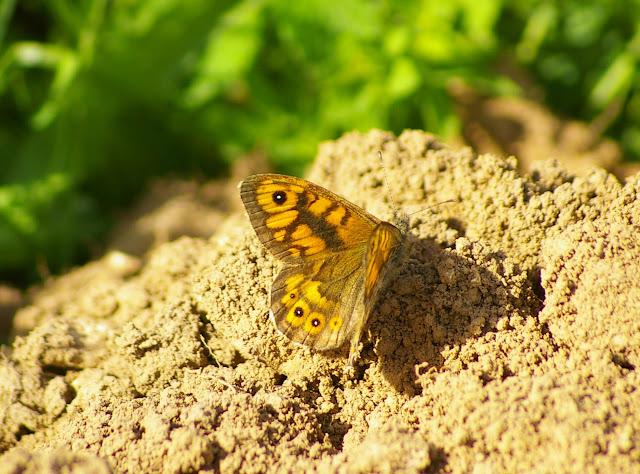 Lasiommata megera L., 1767, mâle. Les Hautes-Lisières (Rouvres, 28), 22 septembre 2011. Photo : J.-M. Gayman