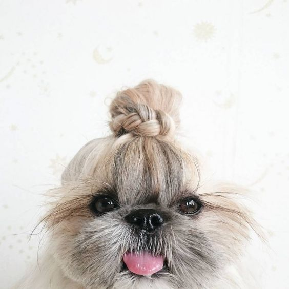 Kuma Unique Dog Hairstyle for 2018
