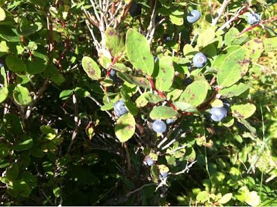 branch full of blueberries
