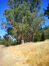Photo: Small managed eucalypti grove.
