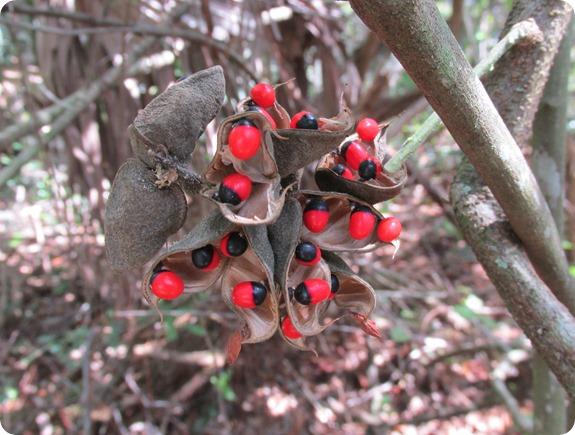 Pioneer Trail - Abrus precatorius Rosary Pea Plant