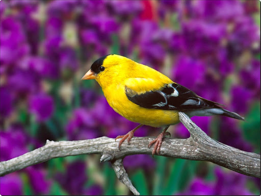 Male American Goldfinch.jpg