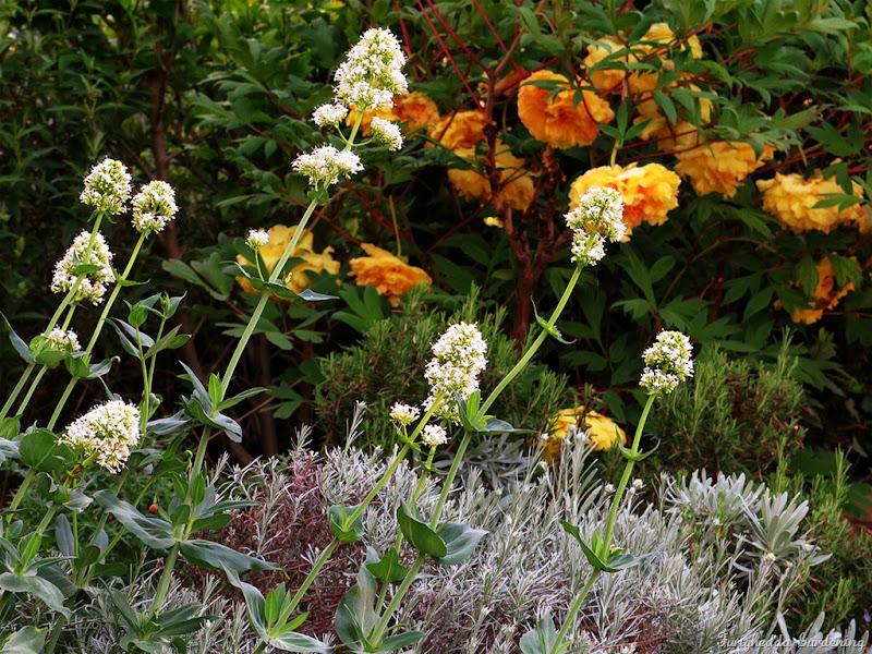 josie garden peonia 1