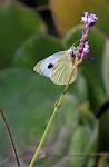 Kanarisk kålsommerfugl, Pieris cheiranthi3.jpg