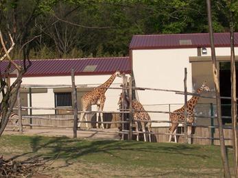 2005.05.18-020 girafes
