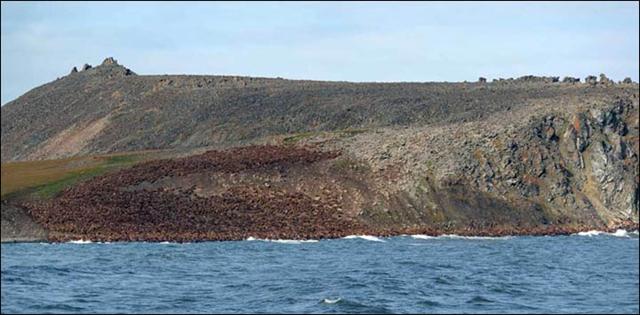 Up to 5,000 walruses hauled out on Cape Kozhevnikov, Siberia, 19 October 2017. Photo: Maxim Deminov / WWF