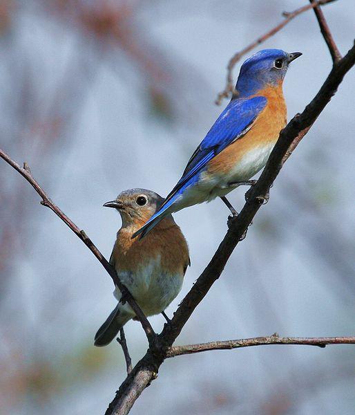 Eastern Bluebird pair