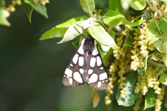 Arctiinae : Epicallia villica (L., 1758). Plateau de Coupon (511 m), Viens (Vaucluse), 12 mai 2014. Photo : J.-M. Gayman