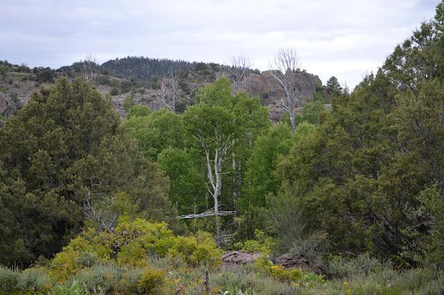 island of aspen trees