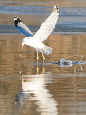 Ringed Gull, Hackensack River.