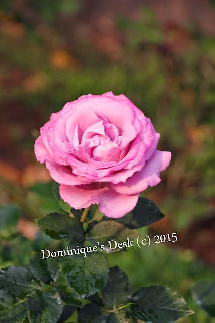 A dark pink rose