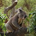 koalabeer.jpg
