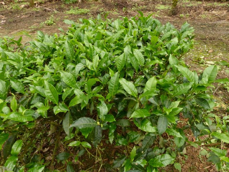 Puli, Nantou county, cueillette de thé - P1050589.JPG
