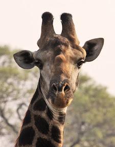 Giraffe Right, South Africa