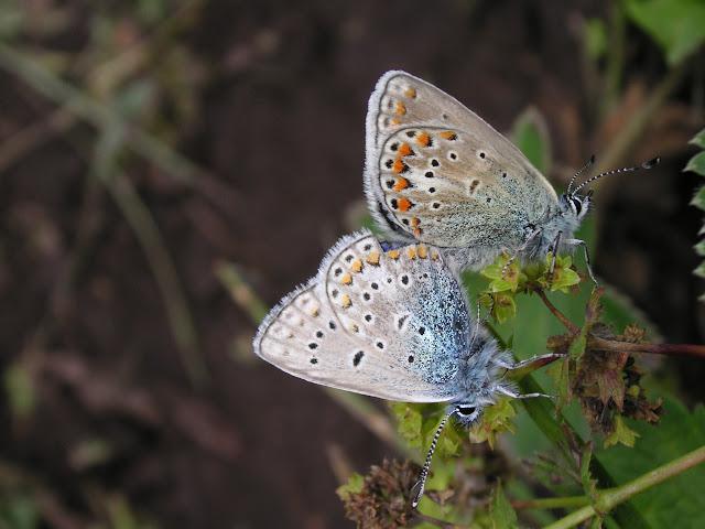 Coupe de Polyommatus icarus bienerti Balint, [1993]. Kyzyl Aksuu (2700 m), Kungej Alatau, Kyrgyzistan (5 juillet 2006). Photo : J. Michel