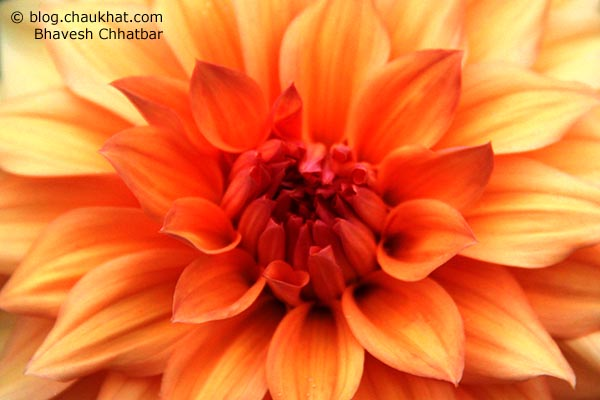 Beautiful Chrysanthemum flower in orange color - Guldaudi [Indian name] - Chrysanths, mums [other names] - Asteraceae [family]
