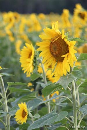 Suflower fields two