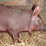 Red Wattle Hogs