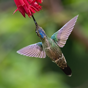 Magnificent Hummingbird From Below by Phyllis Plotkin - Animals Birds ( bird, wild, nature, hummingbird, feeding, costa rica )