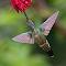Hummingbird #18photoshop.moreresizewings-001.jpg