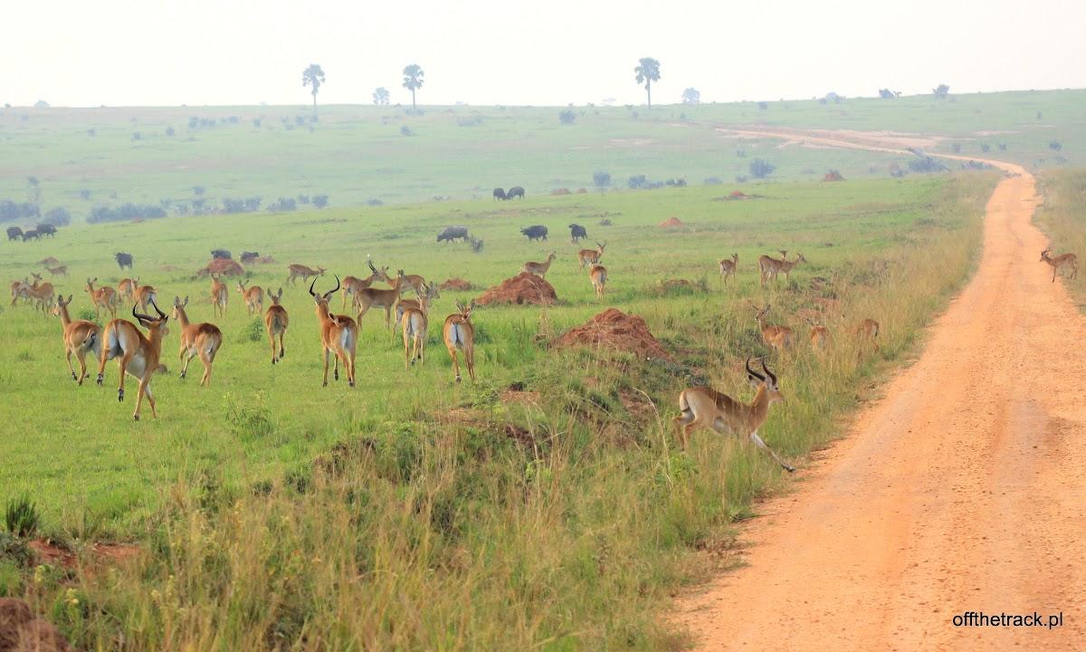 Stado antylop Oribi przy drodze, park narodowy Murchison Falls, Uganda