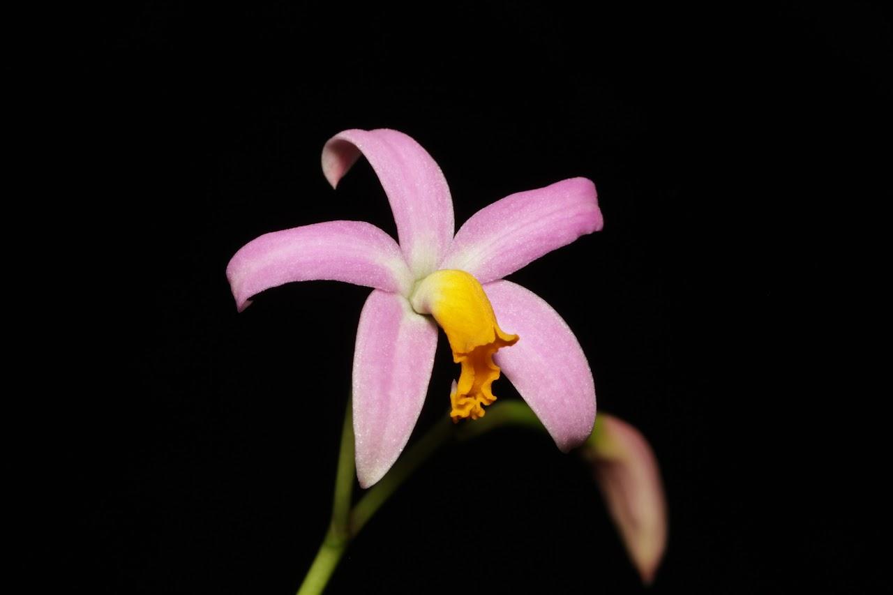 Cattleya (Laelia) reginae IMG_8046