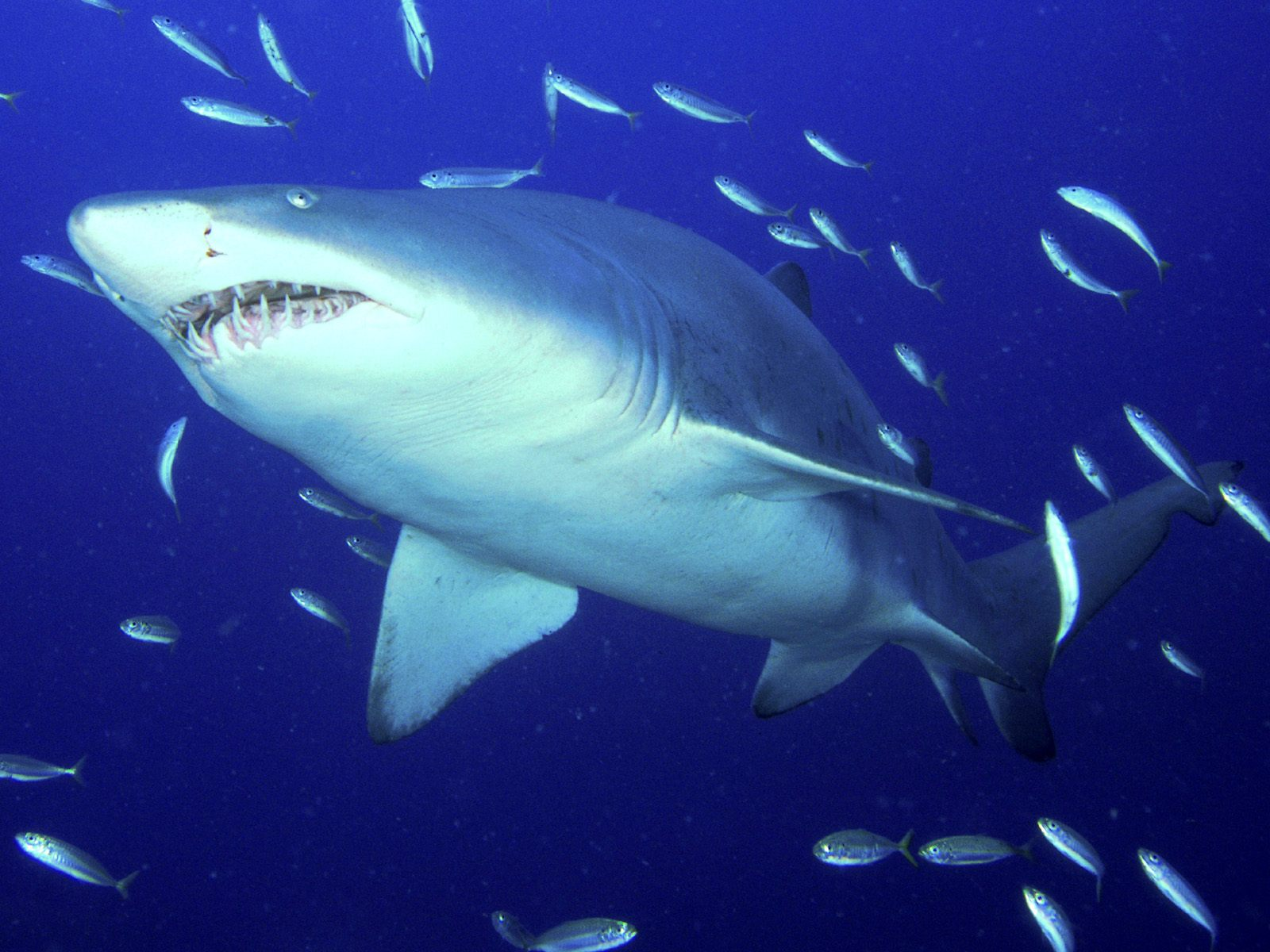 Tiger shark for How to shark fish
