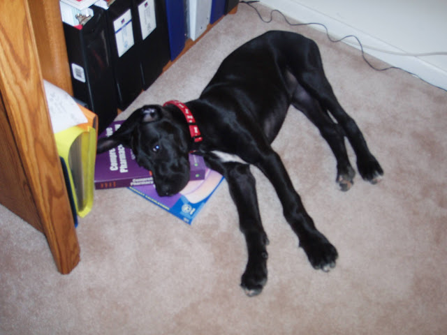 Dynamite Danes Family Album #2 - Rooby%2BStudying%2Bfor%2BPharmacy%2BBoards.JPG