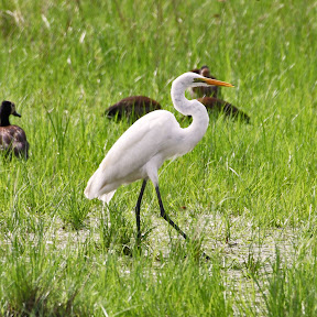 Egret, Zambia