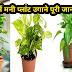 Money Plant ऊगाने की पूरी जानकारी