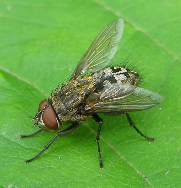 Chapter 11: November - 576px-Pollenia-sp-Cluster-fly-%2BWmedia.jpg