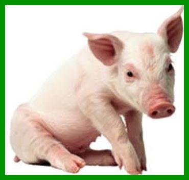 porco-animal-imundo.jpg