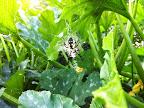Black-and-yellow garden spider.