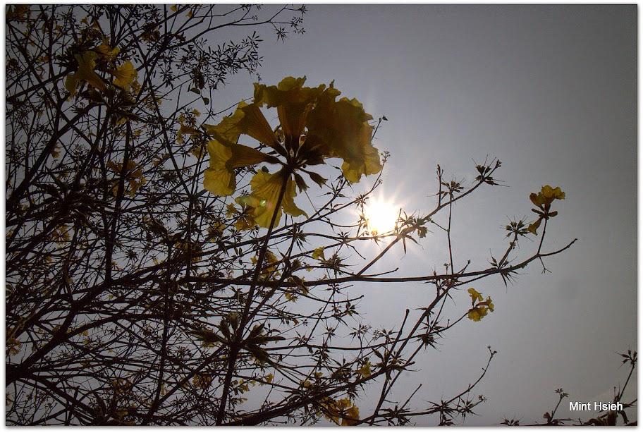 【對 黃 金 花 的 想 像】(4 P)