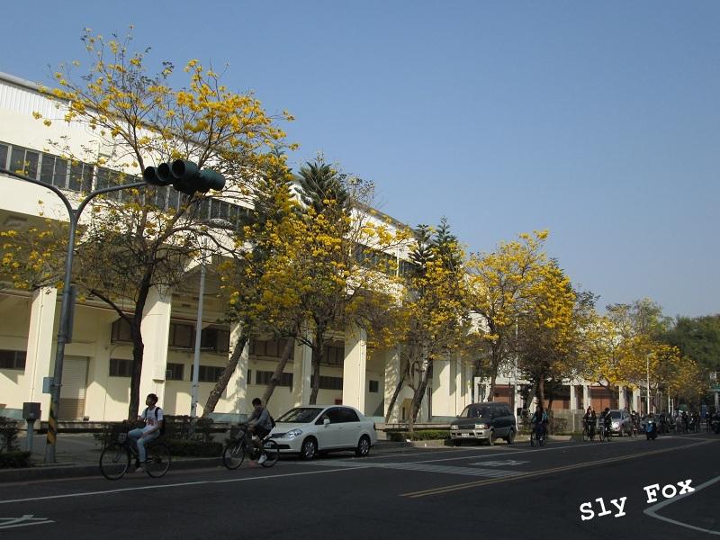台南大學路黃花風鈴木