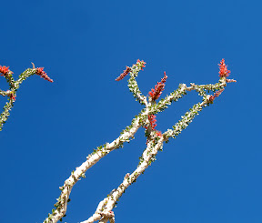 Blooming Ocotillo flowers against an intense blue desert sky.