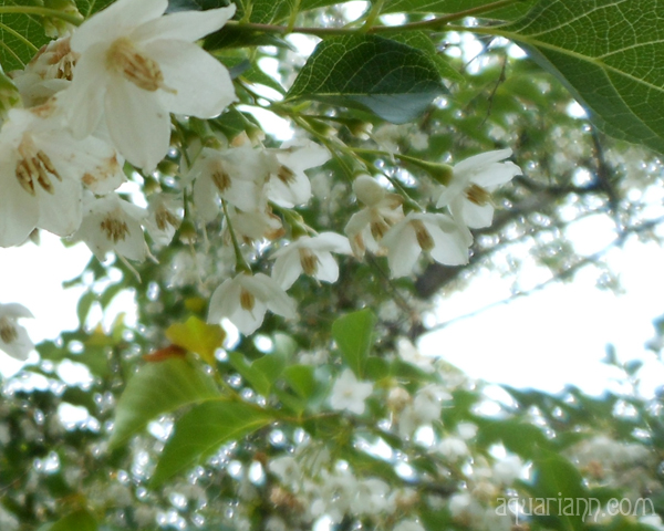 Styrax Snowbell Flowers Photo By Aquariann